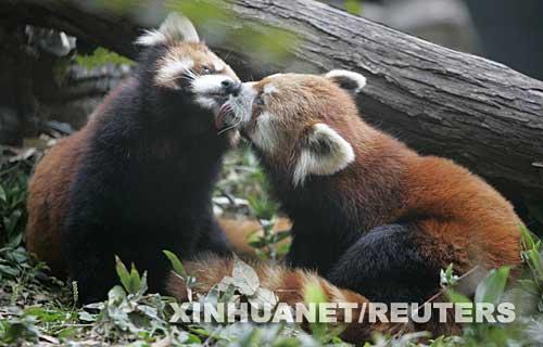 """日本川崎动物园 小熊猫""""相濡以沫""""(图)"""